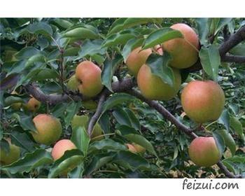 双辽苹果梨