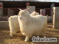 岫岩绒山羊