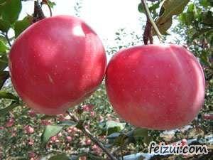 瓦房店小国光苹果