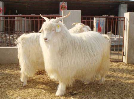新宾绒山羊