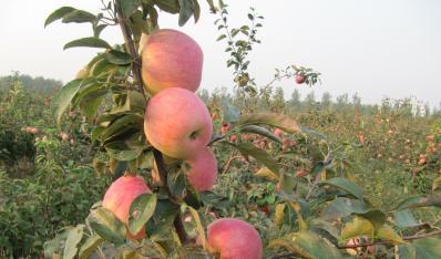 清原红南果梨