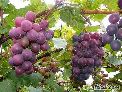 五龙山葡萄