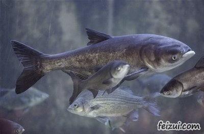 清河胖头鱼