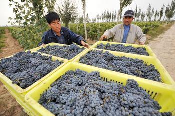 红寺堡葡萄