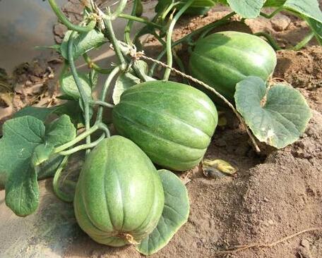五原灯笼红香瓜