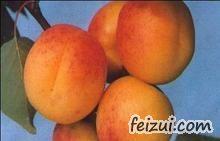 鄂尔多斯酸毛杏