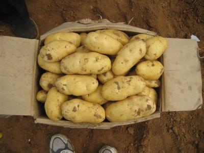 和林格尔马铃薯