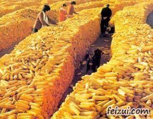通辽黄玉米