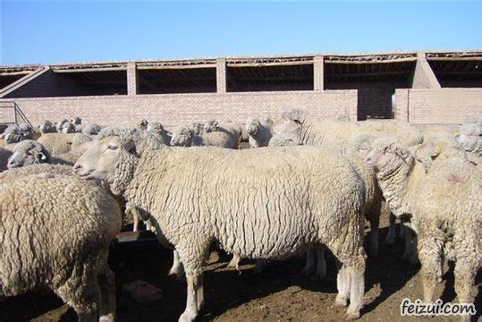 乌珠穆沁羊