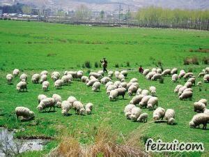 乌兰茶卡羊