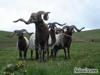 苏呼欧拉羊