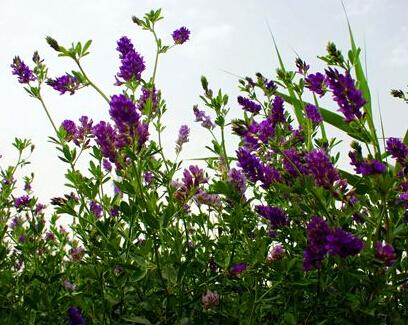 阳信紫花苜蓿
