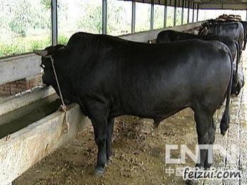 无棣渤海黑牛