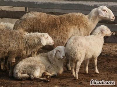 沾化洼地绵羊