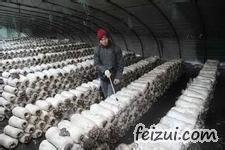 武城李家户蘑菇