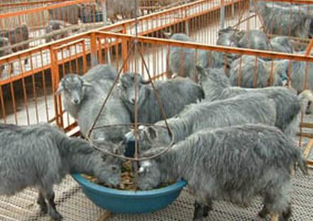 单县青山羊