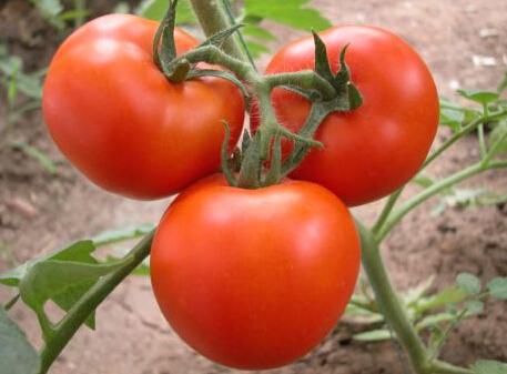 单县西红柿