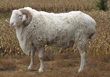 郓城小尾寒羊