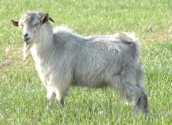 郓城青山羊