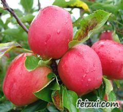 平阴玫瑰红苹果