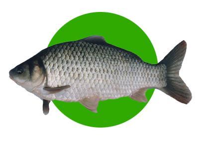 微山湖鲫鱼