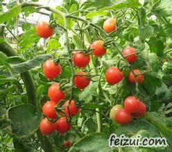 城前越夏西红柿