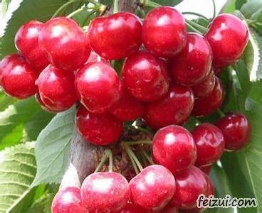 金山大樱桃