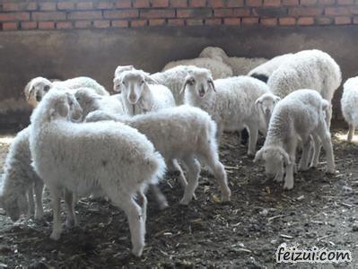 嘉祥小尾寒羊