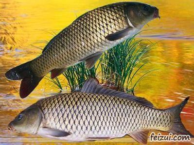 微山湖四鼻鲤鱼