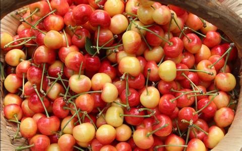 黑山安樱桃