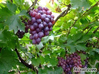 平度大泽山葡萄