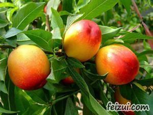 莱西王家庄油桃