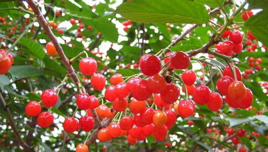 山色峪樱桃