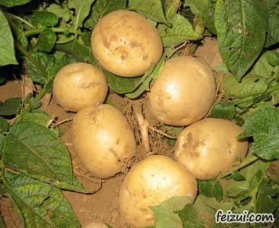 高密胶河土豆