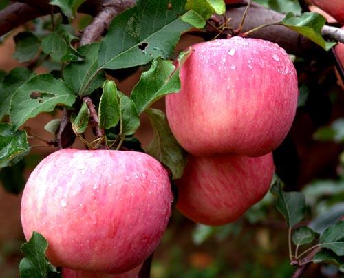 优系红富士苹果