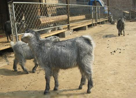 滕州青山羊