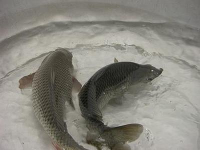 高青黄河鲤鱼