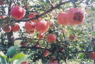 九州龙苹果