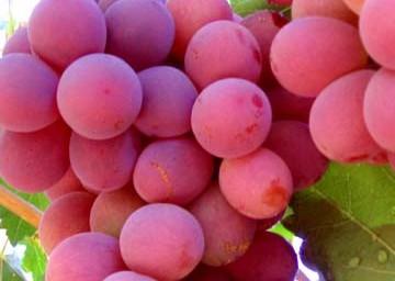 合阳红提葡萄