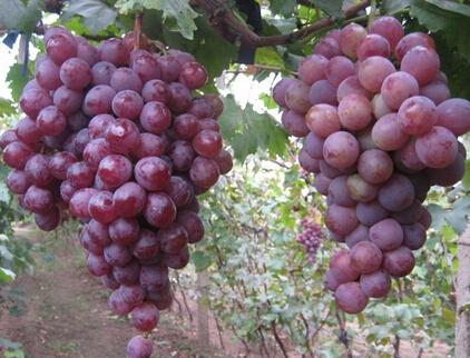 蒲城红提葡萄