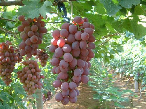 汤房红提葡萄