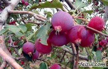 府谷海红果