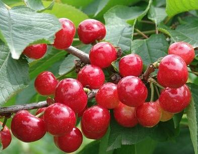 九寨沟甜樱桃