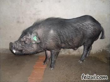 通江青峪猪