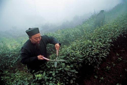 鹤鸣山贡茶