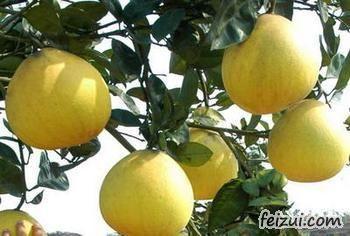 广安龙安柚