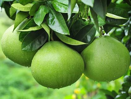 苍溪脆香甜柚