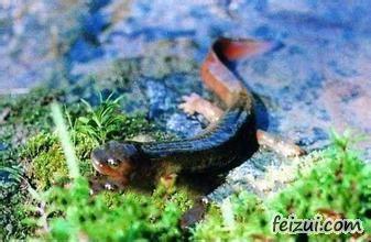 汉王山娃娃鱼