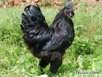 沐川乌骨黑鸡