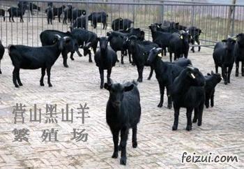 营山黑山羊